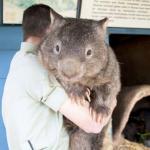 Uombat marsupial australiano