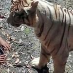 hombre fue atacado hasta la muerte por un tigre blanco