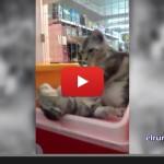 video de un gato que le da un masaje a su compañero