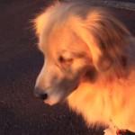 Este perrito es la sirena de ambulancia más tierna