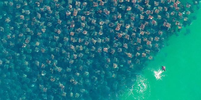 Sorprendentes fotos de una migración masiva de rayas doradas