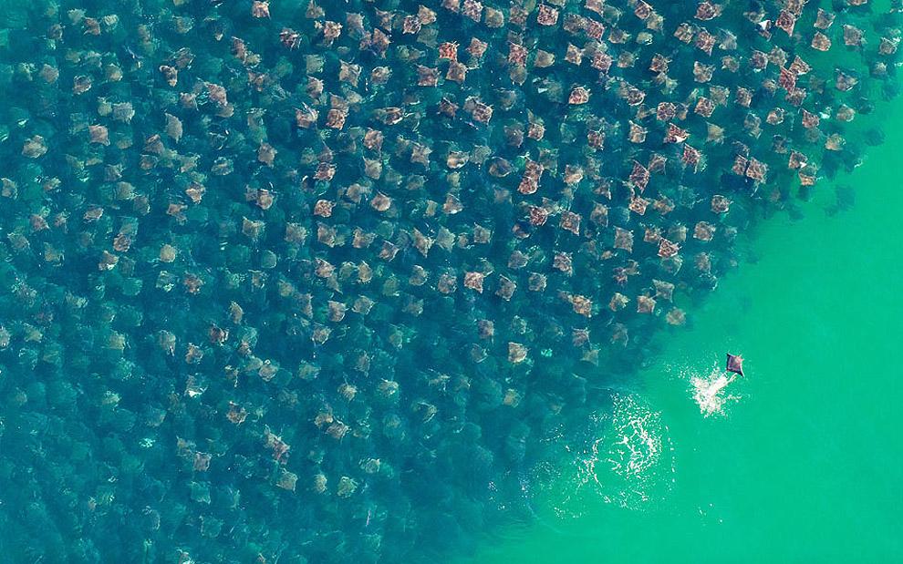 migración masiva de rayas doradas