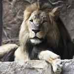 video de un león que mata a su compañera