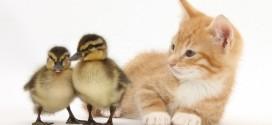 Un gato se mete donde viven los patos y mira lo que pasa
