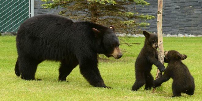 Una mamá osa sacó corriendo a varios turistas para proteger a sus crías