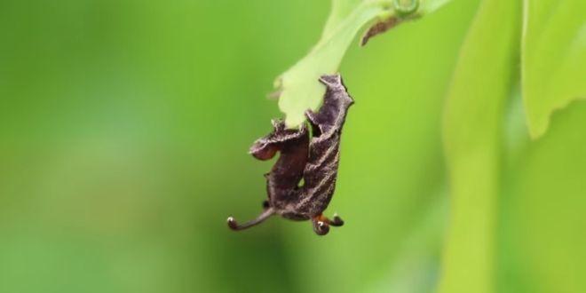 Video: Curiosa oruga con tentáculos habita en la Amazonía peruana