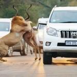 Impresionante momento en el que varios leones cazan a un antílope
