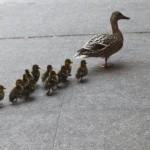 video de familia de patos atravesando una autopista