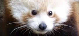 ¿Es un oso? ¿Es un zorro? Te revelamos en fotos a este tierno animal en vía de extinción