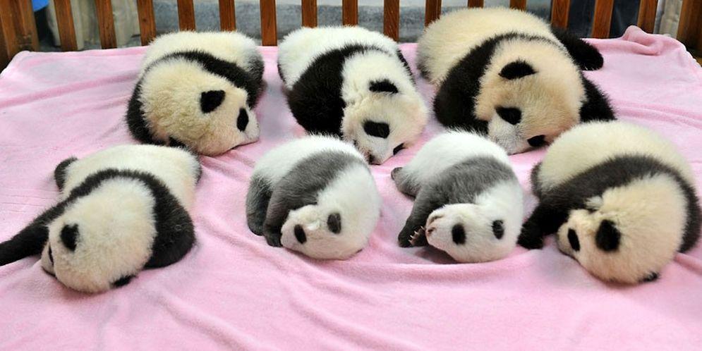 El criadero de osos panda más grande del mundo presentó 15 bellísimas crías