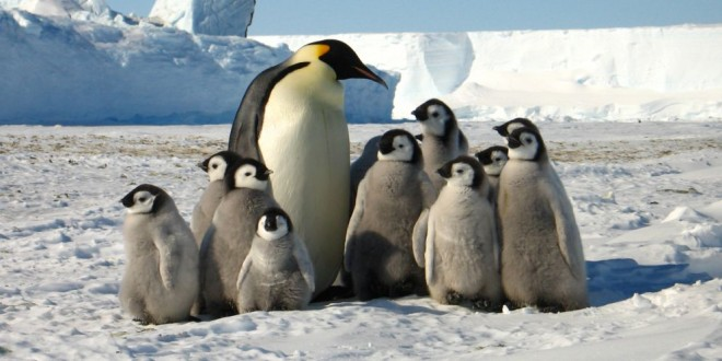 Una elaborada táctica les permite sobrevivir a los pingüinos del frío. Mírala en video