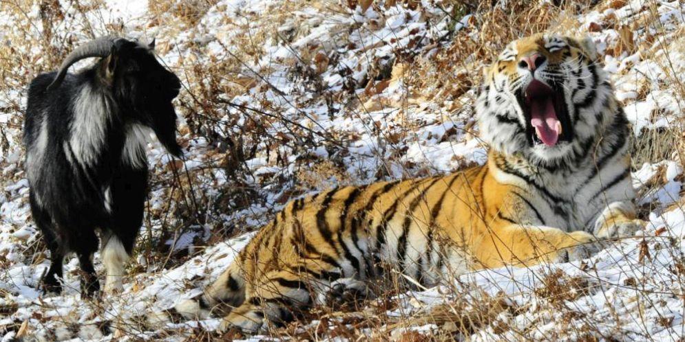 El tigre que debió comerse a la cabra y la cabra que debió huir terminaron siendo amigos