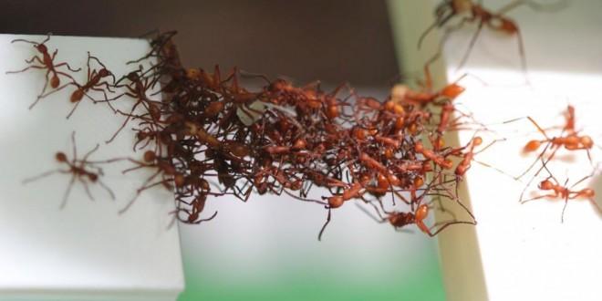 Así es como las hormigas forman puentes vivientes con sus propios cuerpos
