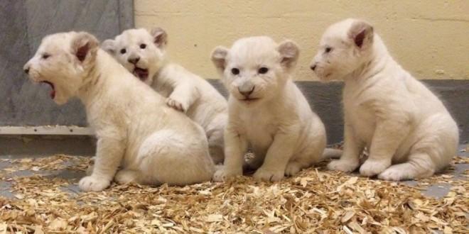 Son cuatro y son realmente exóticos. Conoce a los cachorros de león blanco que nacieron esta temporada