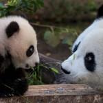 Investigadores chinos descifraron el lenguaje de los osos panda