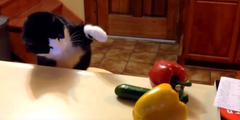 gatos se espantan con los pepinos
