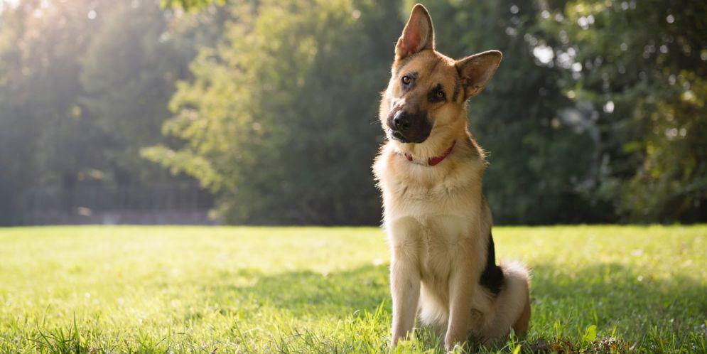 ¿Por qué los perros inclinan la cabeza cuando les hablan?