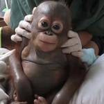 rescataron a un bebé orangután