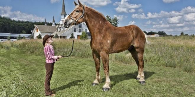 Conoce a Big Jake el caballo más alto del mundo