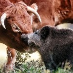 pequeño jabalí aceptado por un hato de vacas