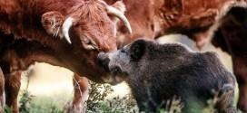 ¿Crisis de identidad? Conoce la historia del pequeño jabalí aceptado por un hato de vacas