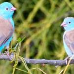 Este es el pájaro que canta y baila tap para conquistar a su pareja