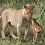 leon protege a su presa