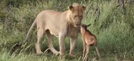 ¿Un león protegiendo a la que debía ser su presa? ¡Sorprendente video!