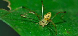Fotos de la sorprendente araña espejo. Un diminuto animal que parece de fantasía